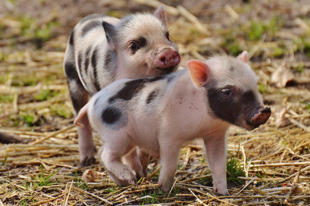 Two little piglets playing.